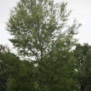 Photographie n°75819 du taxon Populus nigra L.