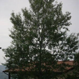Photographie n°75820 du taxon Populus nigra L.
