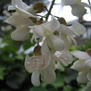 Photographie n°75828 du taxon Robinia pseudoacacia L.