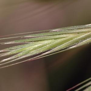 Photographie n°75847 du taxon Bromus sterilis L. [1753]