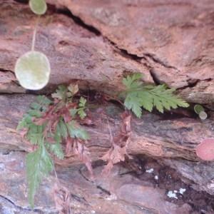 Photographie n°75909 du taxon Asplenium adiantum-nigrum L.