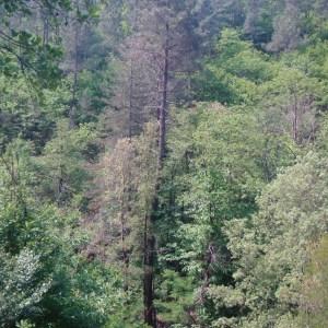 Photographie n°75936 du taxon Pinus pinaster Aiton [1789]