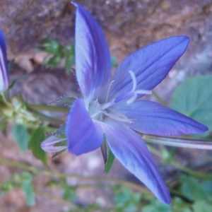 Photographie n°75942 du taxon campanula sp