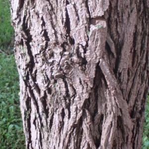 Photographie n°75989 du taxon Robinia pseudoacacia L.