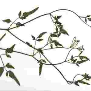 Photographie n°76001 du taxon Torilis japonica (Houtt.) DC. [1830]