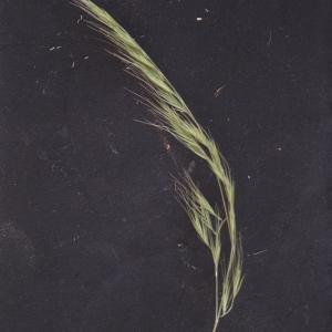 Vulpia bromoides (L.) Gray (Vulpie faux brome)