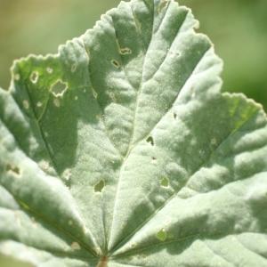 Photographie n°76085 du taxon Althaea officinalis L. [1753]