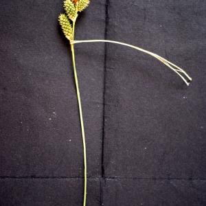 Photographie n°76123 du taxon Carex extensa Gooden.