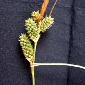 Photographie n°76124 du taxon Carex extensa Gooden.