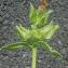 Liliane Roubaudi - Picris echioides L.