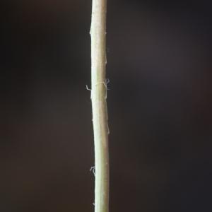 Photographie n°76177 du taxon Papaver setigerum DC. [1815]