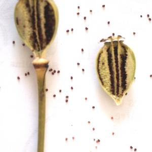 Photographie n°76178 du taxon Papaver setigerum DC. [1815]
