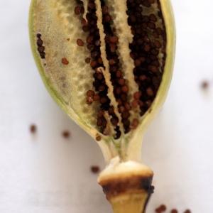 Photographie n°76179 du taxon Papaver setigerum DC. [1815]