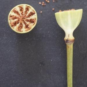 Photographie n°76180 du taxon Papaver setigerum DC. [1815]
