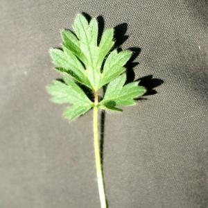 Photographie n°76255 du taxon Ranunculus bulbosus L. [1753]