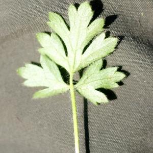 Photographie n°76256 du taxon Ranunculus bulbosus L. [1753]