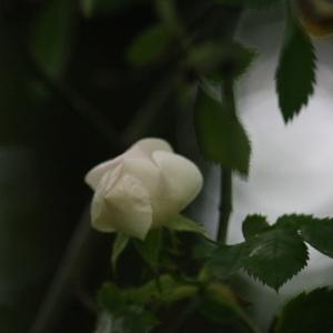 Photographie n°76264 du taxon Rosa canina L. [1753]
