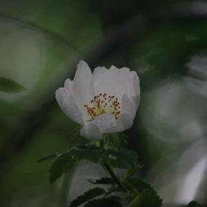 Photographie n°76267 du taxon Rosa canina L. [1753]
