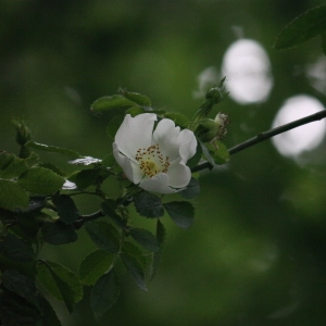 Photographie n°76273 du taxon Rosa canina L. [1753]