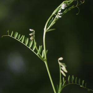 Photographie n°76294 du taxon Vicia hirsuta (L.) Gray [1821]