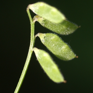 Photographie n°76295 du taxon Vicia hirsuta (L.) Gray [1821]