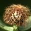 Liliane Roubaudi - Centaurea pectinata L. [1763]