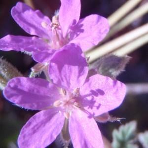 Erodium chium var. murcicum (Cav.) Nyman