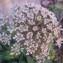 Genevieve Botti - Daucus carota subsp. gummifer (Syme) Hook.f. [1884]