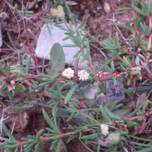 Photographie n°76347 du taxon Cuscuta epithymum (L.) L.