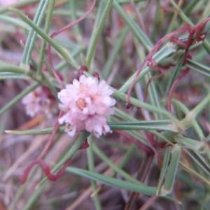 Photographie n°76348 du taxon Cuscuta epithymum (L.) L.