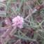 Genevieve Botti - Cuscuta epithymum (L.) L.