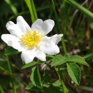 Photographie n°76406 du taxon Rosa arvensis Huds.