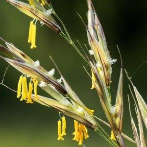 Bromopsis erecta (Huds.) Fourr. (Brome des prés)