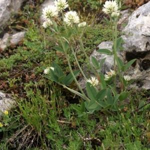 Photographie n°76547 du taxon Trifolium montanum L.