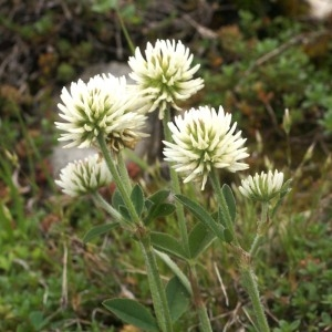 Trifolium montanum L. (Trèfle des montagnes)