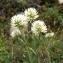 Liliane Roubaudi - Trifolium montanum L.