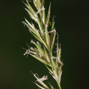 Photographie n°76586 du taxon Anthoxanthum odoratum L.