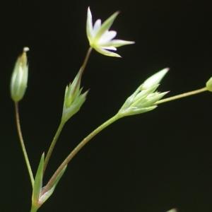 - Minuartia hybrida subsp. laxa (Jord.) Jauzein