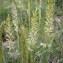 Diane CORBIN - Koeleria pyramidata (Lam.) P.Beauv. [1812]