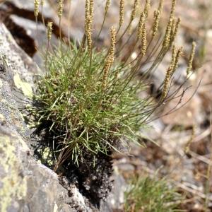 Photographie n°76641 du taxon Plantago holosteum Scop.