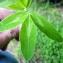 Emmanuel Stratmains - Trifolium pratense L. [1753]