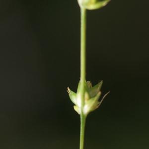 Photographie n°76754 du taxon Carex divulsa Stokes [1787]