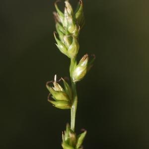 Photographie n°76757 du taxon Carex divulsa Stokes [1787]