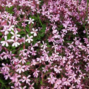 Photographie n°76783 du taxon Saponaria ocymoides L.