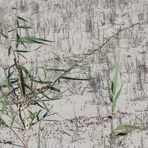 Photographie n°76830 du taxon Phragmites australis (Cav.) Trin. ex Steud. [1840]