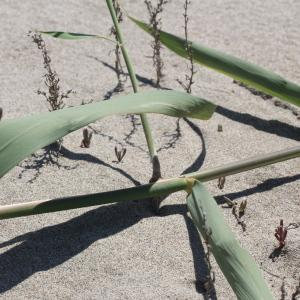 Phragmites australis subsp. pseudodonax (Rabenh.) Rauschert (Roseau)