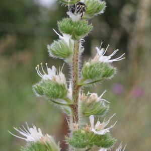 Photographie n°76847 du taxon Echium italicum subsp. italicum
