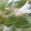 Marie  Portas - Echium italicum subsp. italicum