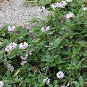 Phyla nodiflora (L.) Greene (Phyla à fleurs nodales)