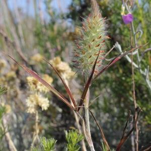 Photographie n°76866 du taxon Trifolium angustifolium L. [1753]